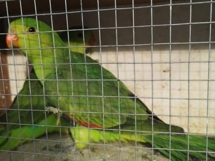 Papuga czerwonoskrzydła krasnopiórka