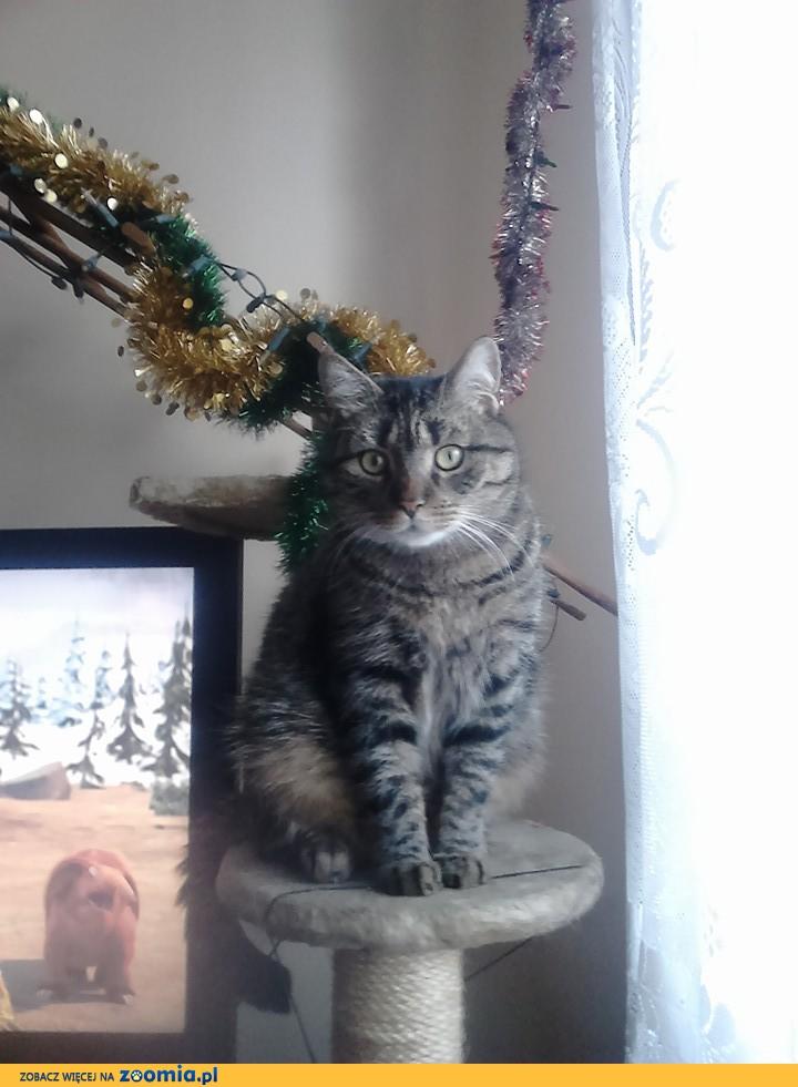 Zaginął kot Tiger - ulica Tkacka Pabianice