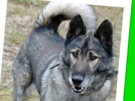 Młody duży 36 kg wilczasty pies LUPUS przyjazny kontaktowy_Adopcja_