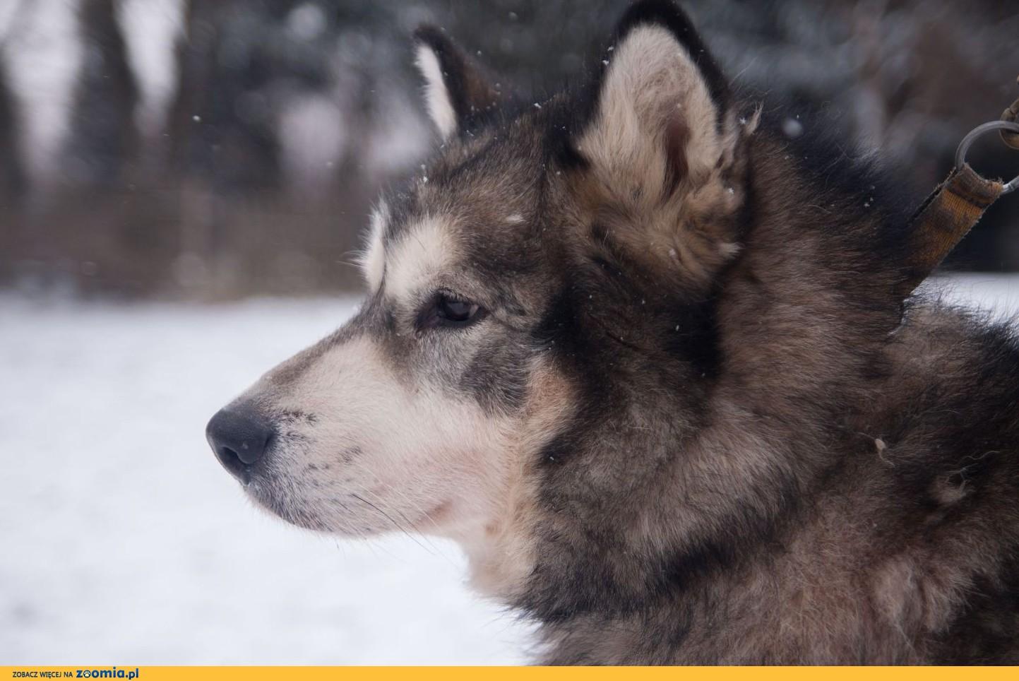 Alaskan Malamute W Polsce AXEL-malamut- w...