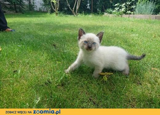 koty syjamskie,  wielkopolskie Konin
