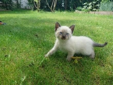 koty syjamskie   wielkopolskie Konin