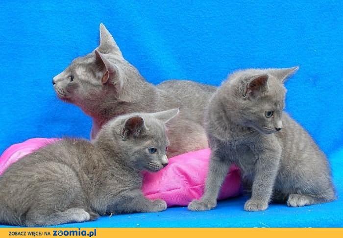 kot rosyjski niebieski kocięta rosyjskie