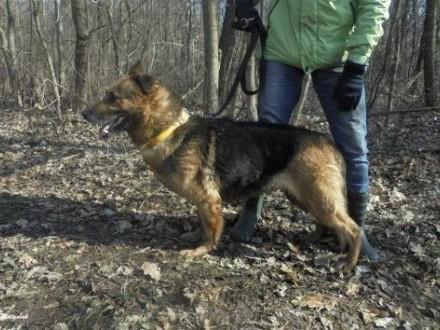 pies-Torka,  śląskie Częstochowa