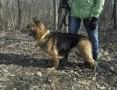 'pies-Torka,  śląskie Częstochowa