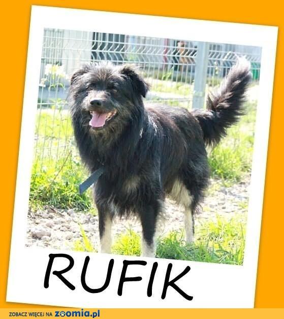 RUFIK-średni,długowłosy,spokojny pies-zabierz ze schroniska.ADOPCJA