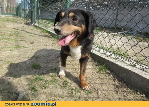 Cecyl-nieśmiały, łagodny pies, mix entlebucher!,  śląskie Częstochowa
