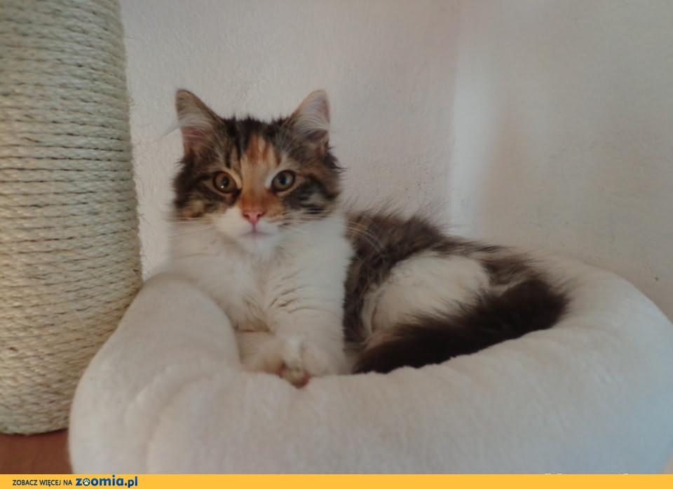 kotka syberyjska kolorowa