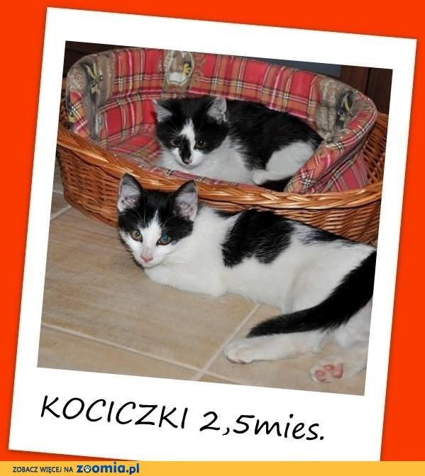 Kociczki 2mies. biało-czarne, przytulaśne,kuwetkowe.ADOPCJA