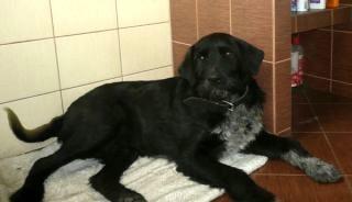 Pieszczoch - 3letni wyżeł do adopcji