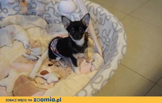 MALEŃKI  Chihuahua ZKwP/FCI,  łódzkie Sieradz