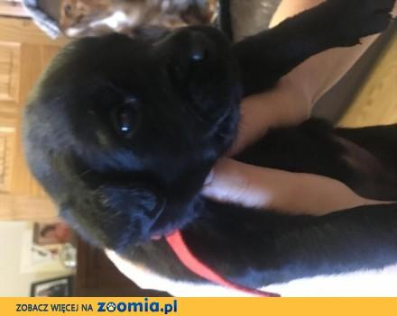 Oddam 3 szczeniaki Labrador Retriever BEZ rodowodu