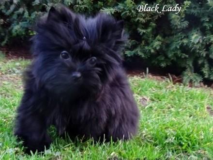 Yorkshire Terrier BLACK - Czarne Cudo dla zakochanych w Rasie !   Kędzierzyn-Koźle