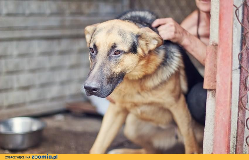 JORDAN - piękny psiak w typie Owczarka Niemieckiego