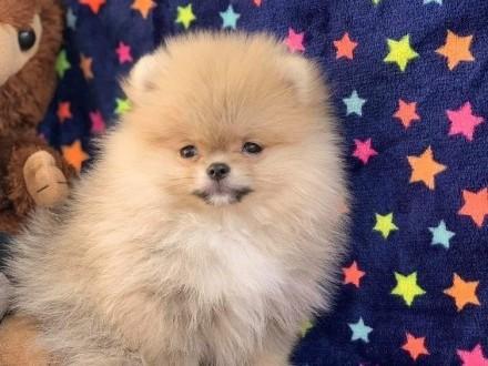 Pomeranian Malutki miś FCI