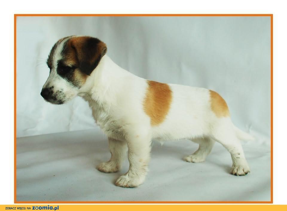 Jack Russell Terrier - szczenięta z rodowodem FCI