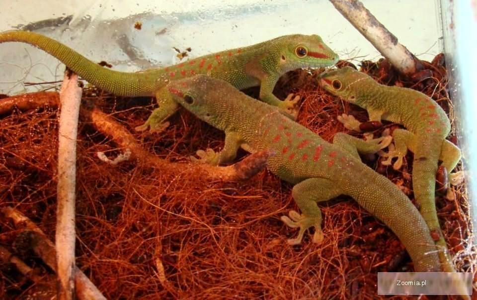 FELSUMA MADAGASKARSKA - helsuma madagascariensis grandis - ZooWitek