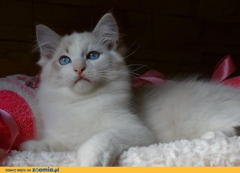 Ragdoll piękny pręgusek po wspaniaych rodzicach z hodowli Star Pol-Cat