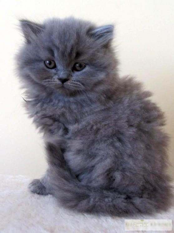 Koty Brytyjskie Niebieskie Rodowodowe British Cats Archives