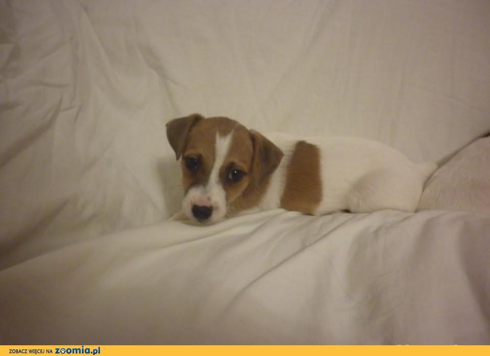 Jack Russell Terrier - piękne szczeniaczki