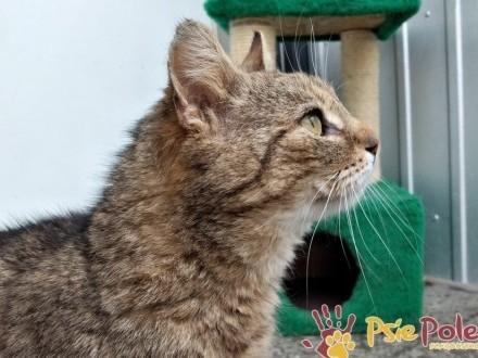 MARCYŚ-superaśny  wspaniały  piękny bury kotek szuka domu  adopcja
