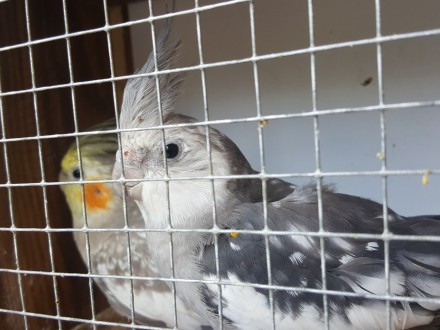 papuga papugi faliste nimfy młode