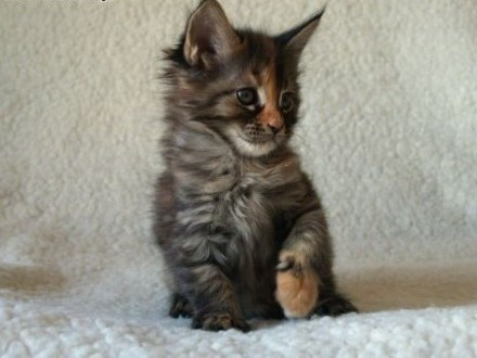 Kocięta Maine Coon   Koty maine coon cała Polska