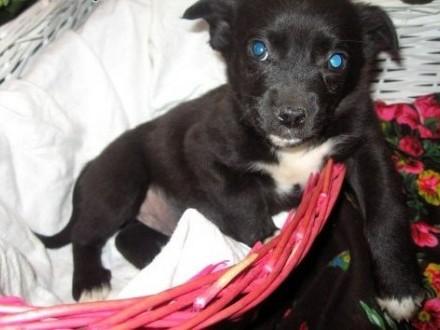 Dwa czarne pieski mama pekinczyk adopcja!!   świętokrzyskie Kielce