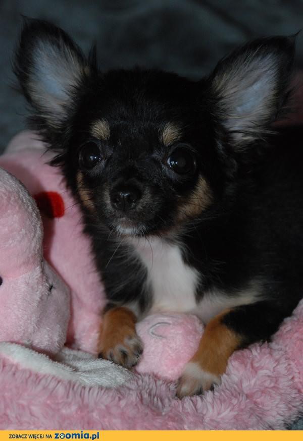 Chihuahua sunia maleńka.