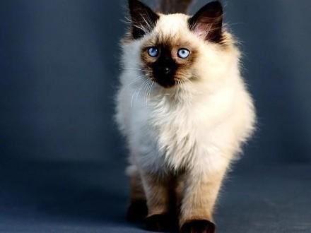 Kot Syberyjski Ogłoszenia Z Hodowli Koty Syberyjskie Zoomiapl