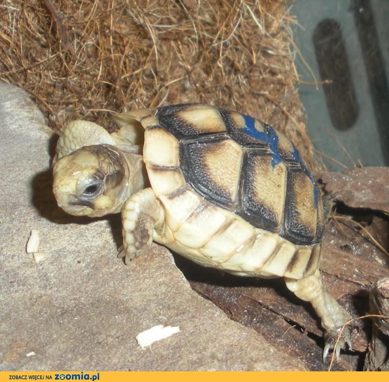 żółw GRECKI sprzedam Tanio