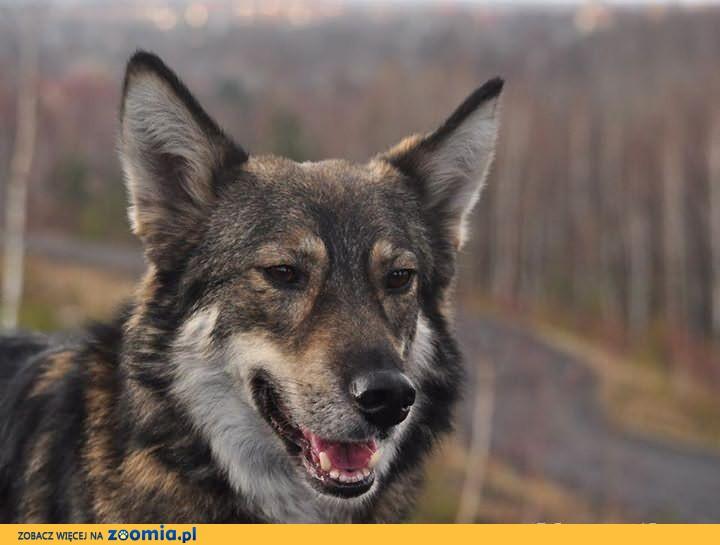 Simba - psiak w typie wilka szuka prawdziwego domu