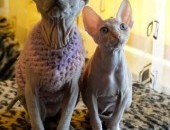 Kanadian sphynx female from Belarus cattery
