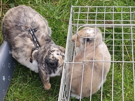 Młoda króliczka samica królik miniaturka baranek