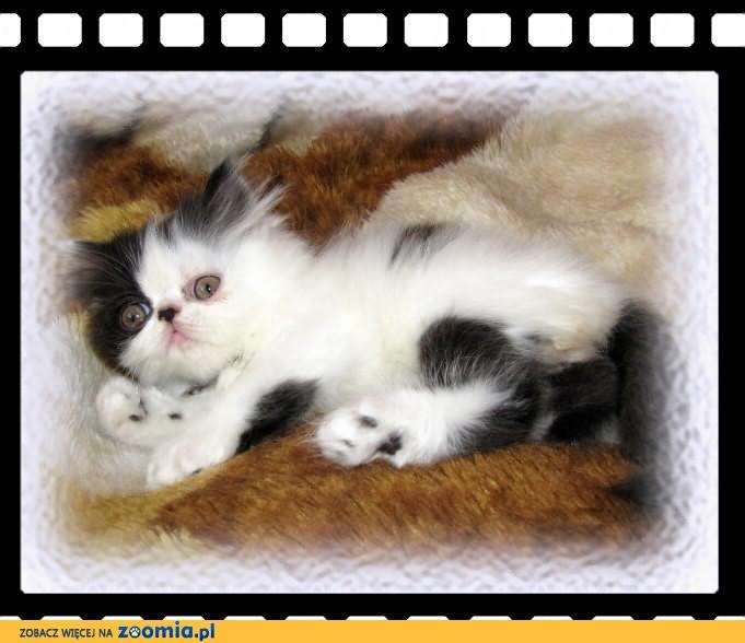 Rasowe rodowodowe kocięta perskie i egzotyczne !              Rodowód