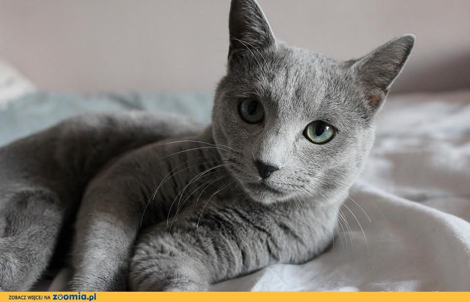 Krycie Rosyjski Niebieski Russian Blue Cats Archives Zoomia Ru