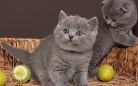 Brytyjskie kocięta