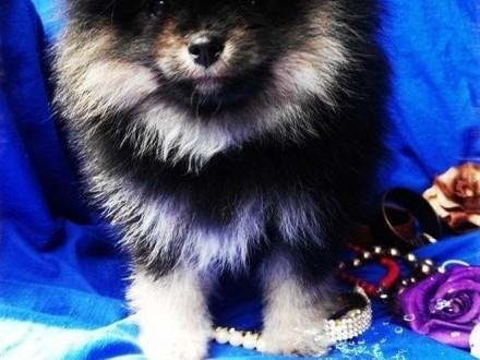Pomeranian Szpic Miniaturowy DO ODBIORU ! RODOWÓD