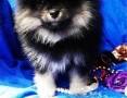'Pomeranian Szpic Miniaturowy DO ODBIORU ! RODOWÓD