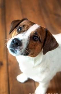 Jack Russell Terrier Reproduktor FCI