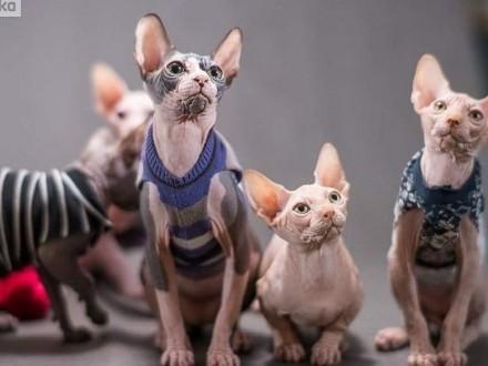2 mioty Kociaki kontaktowe Mruczki o kochanym charakterze ( Rod FPL )