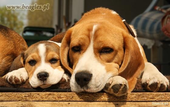 beagle Królewska Zgraja - szczenięta beagle