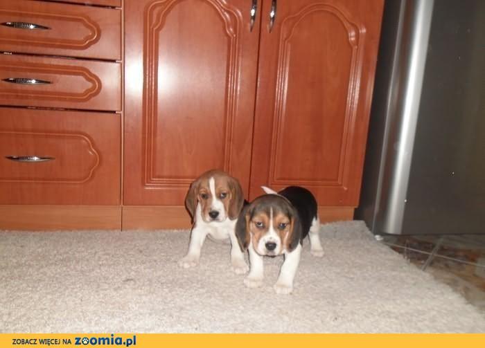 Beagle -śliczne szczeniaki