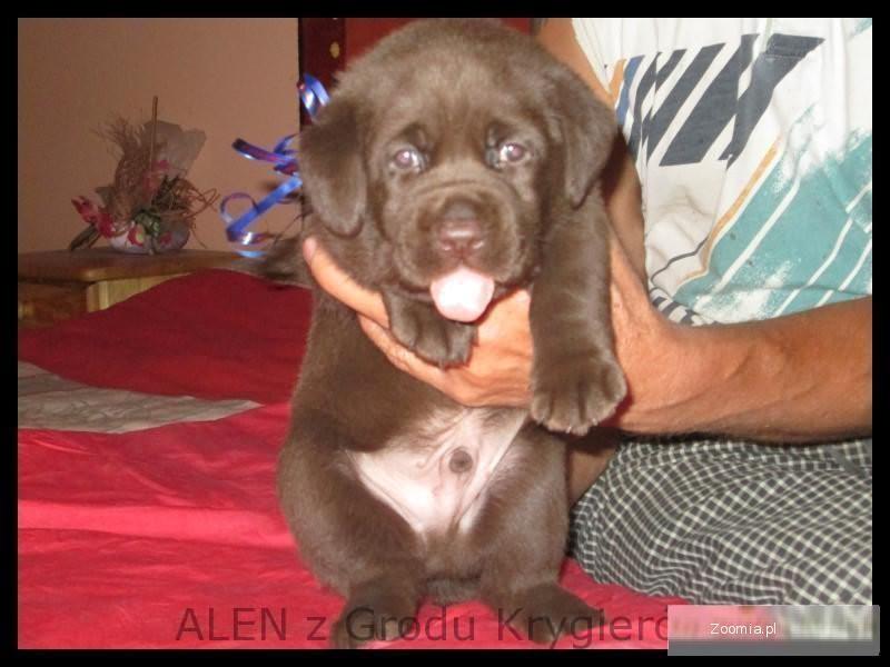 Labrador czekoladowy szczeniak wyjątkowy z rodowodem po championach