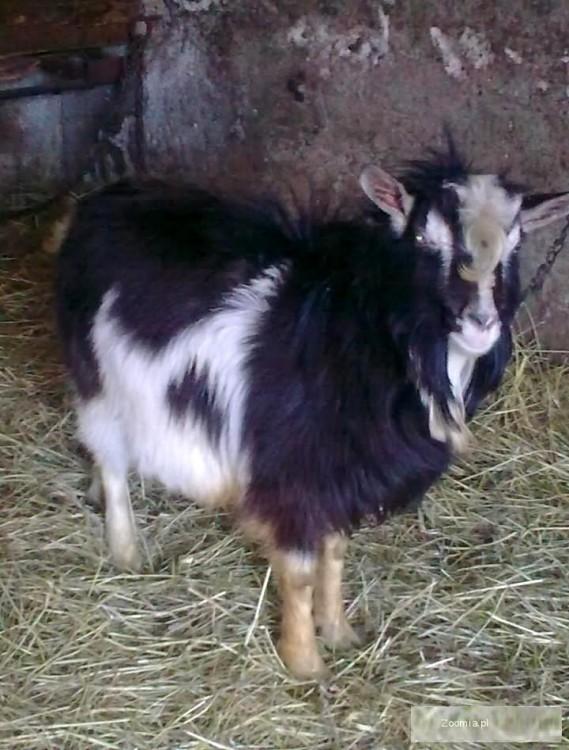 Pilnie sprzedam młodego kozła i kozę oraz dorosłą kozę