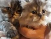 Kotki perskie,  śląskie Bielsko-Biała