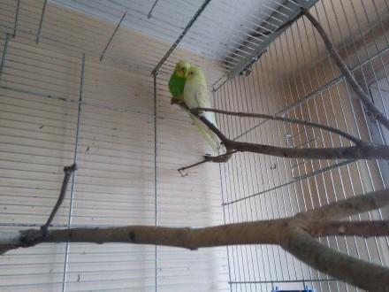 Papużka falista ciekawe