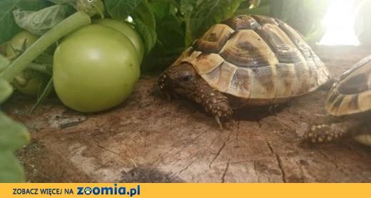 żółw grecki lądowy sprzedam,  Żółw grecki cała Polska