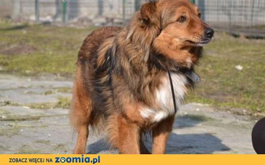 Misio - śliczny rudy pies lisek do adopcji,  śląskie Częstochowa