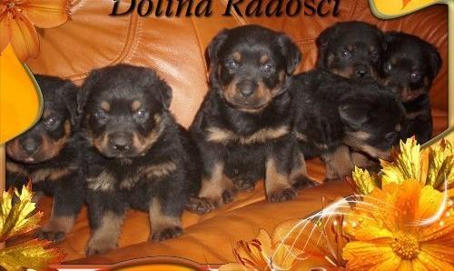 Rottweiler REZERWACJA   łódzkie Radomsko